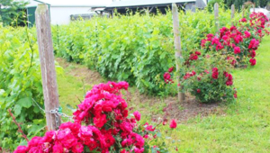 Victorianbourg Wine Estate's vineyard and roses